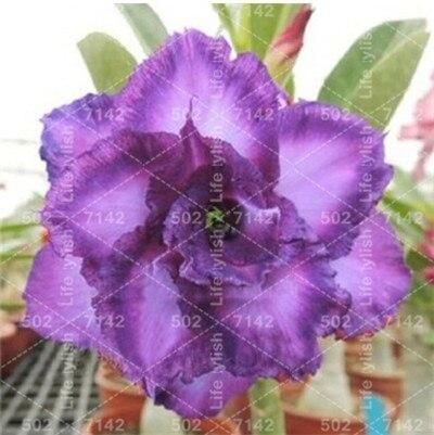 Hot Sale! 1 pcs/bag 100% True Adenium Obesum Bonsai desert rose bonsai flower flores Double Petals home garden Decoration plants