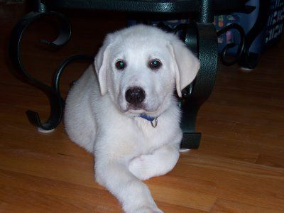 A Rescued Yellow Lab Great Pyrenees Mix Cute Puppy Pictures