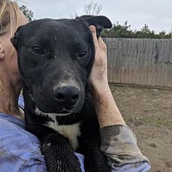 Available Pets At Passion For Pits Rescue In Crenshaw Mississippi