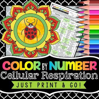 32 Cellular Respiration Coloring Worksheets - Zsksydny ...