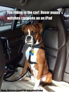 Boxer Dog Funny Quotes Google Search Bestdogtraining Best Dog