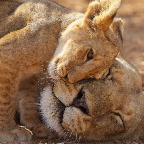 Lion cub... Hanging out with Mom...
