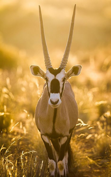 The Gemsbok or Oryx is a large desert-dwelling antelope. Their spectacular horns and beautiful markings make them one of my favourite antelope species.  (photo/text: Will Burrard-Lucas)