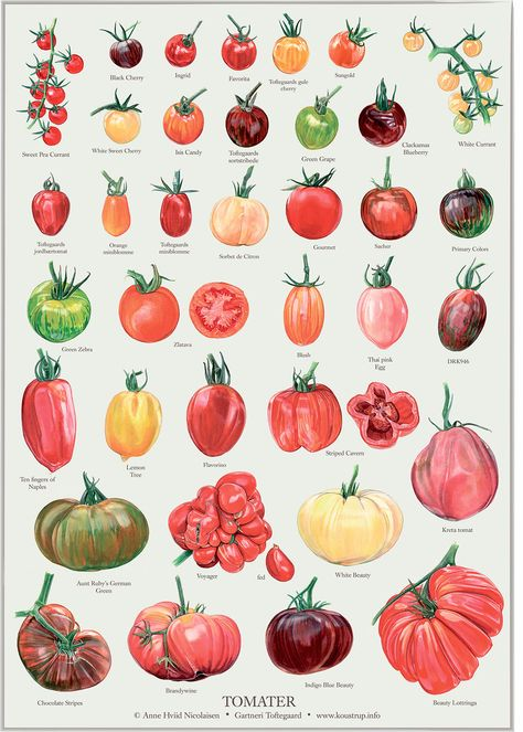 Tomatos Gardening 36 different kinds of tomatoes illustrated to be used on this poster as well as in a book about tomatoes. TOMATOS X 36 on Bechance by Anne Hviid Nicolaisen - Botanical Drawings, Botanical Prints, Growing Tomatoes, Growing Vegetables, Healthy Vegetables, Tomato Drawing, Illustration Botanique, Heirloom Tomatoes, Autumn Garden