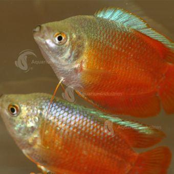 Gourami Dwarf Aquarium Industries Pet Fish Betta Aquarium Fish