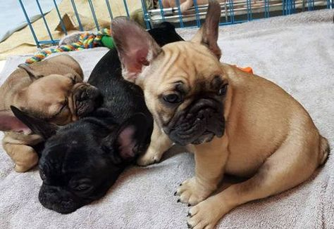 Litter Of 9 French Bulldog Puppies For Sale In Austin Tx Adn