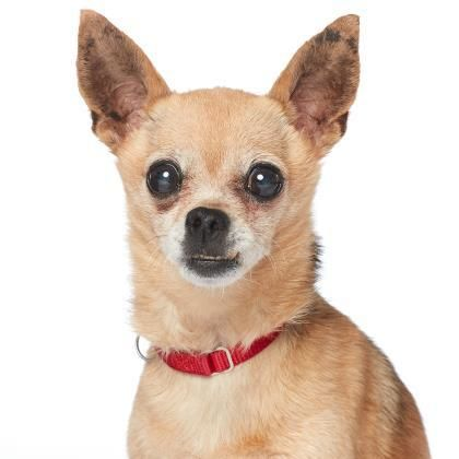 Adopt Miranda On Chihuahua Chihuahuas For Adoption Chihuahua Dogs