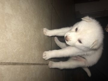 Litter Of 7 Siberian Husky Puppies For Sale In Fayetteville Nc