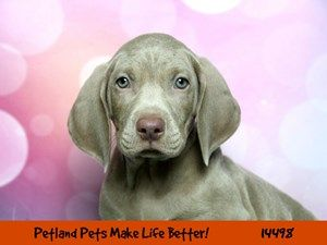 Dogs Puppies For Sale Petland Chicago Ridge Illinois Pet Store Puppies For Sale Dogs Puppies Pet Store