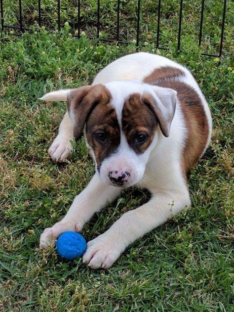 Adopt Chip On Pitbull Terrier Corgi Animals