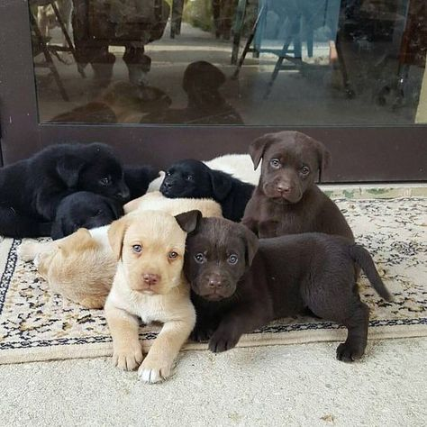 Mind Blowing Facts About Labrador Retrievers And Ideas. Amazing Facts About Labrador Retrievers And Ideas. Labrador Mix, Labrador Retriever Dog, Chocolate Labrador Retriever, Golden Labrador, Cute Puppies, Cute Dogs, Dogs And Puppies, Corgi Puppies, Doggies