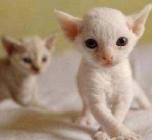 Devon Rex Kittens For Sale 540 724 1212 Devon Rex Kittens Devon Rex Cats Rex Cat