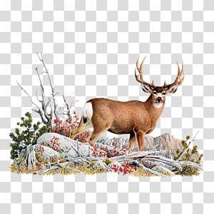 White Tailed Deer Mule Deer Red Deer Deer Transparent Background Png Clipart Moose Illustration Deer Sketch Antler Illustration