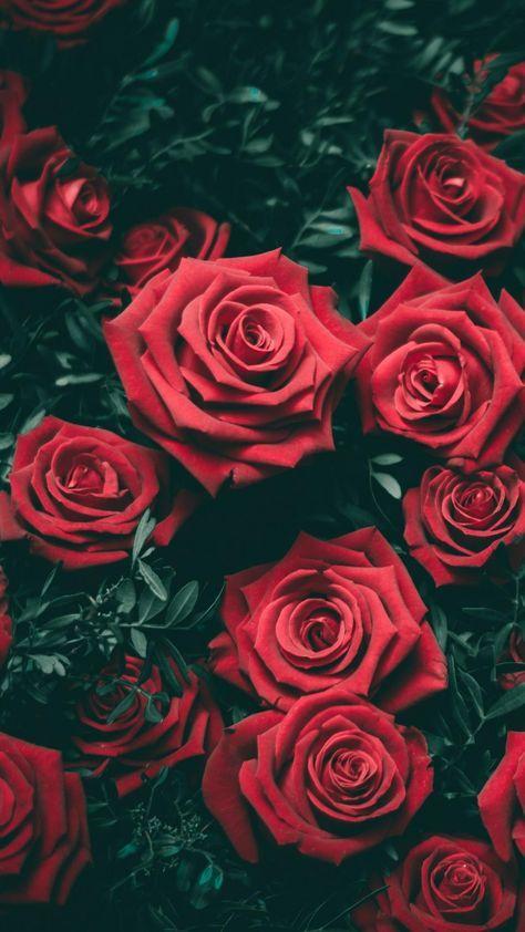 Dark Red Roses Wallpaper Sfondi Floreali Rose Belle Sfondi Per
