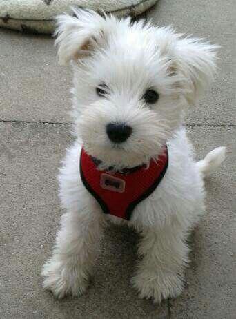 L Il White Wonder Westie Puppies Puppies Schnauzer Puppy