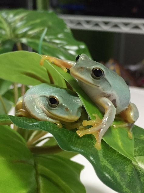The cutest friends Cute Reptiles, Reptiles And Amphibians, Whites Tree Frog, Frog Pictures, Frog Pics, Pet Frogs, Baby Animals, Cute Animals, Frog And Toad