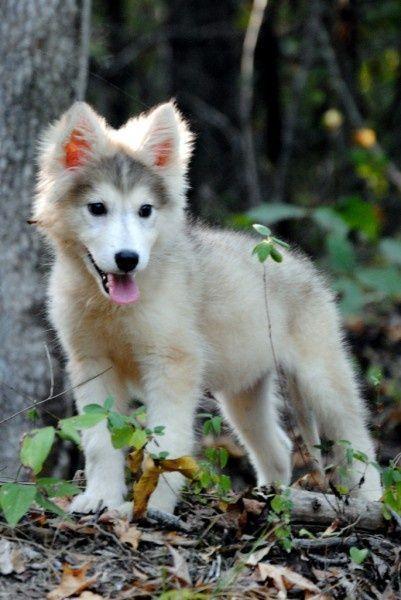 Tamaskan Puppy Hunde Welpen Liebe Hunde Hunde Welpen Hundefotos