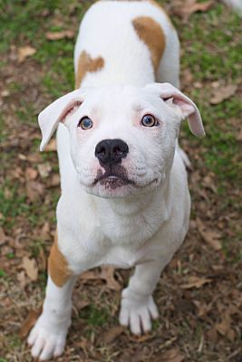 Pictures Of Olaf A Pit Bull Terrier For Adoption In College