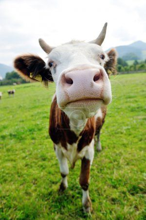 Cow In The Field Toucanvas Animals Animals Friends Cow
