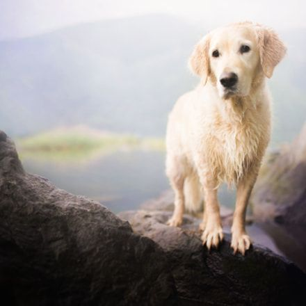 Eliminate Over 30 Common Behavioral Golden Retriever Issues