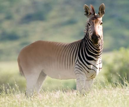 Quagga Is The Plains Zebra That Found In South African Until It Becomes Extinct In A Late 19th Century The Quagga Has Bee Extinct Animals Animals Rare Animals