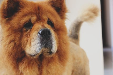 Today I Want To Talk All About Chow Chows Those Fluffy Furballs