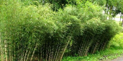 Bambou Fargesia Haie Haute Avec Images Fargesia Robusta