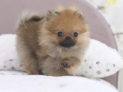 All Puppies For Sale Posh Pocket Pups Puppies For Sale