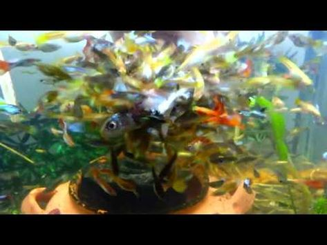Freshwater Fish Eat Saltwater Fish Fish Tank Fishing