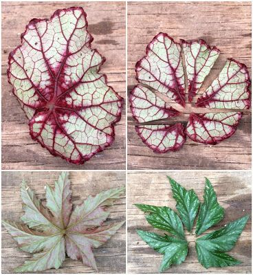 Image Result For Propagating Rex Begonia Begonia Propagation