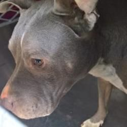 Fort Worth Tx American Pit Bull Terrier Meet 38304283 A Dog