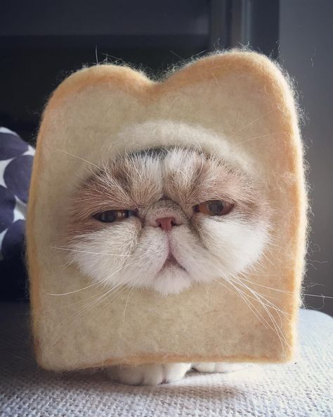 funny A cat... or a slice of bread?...
