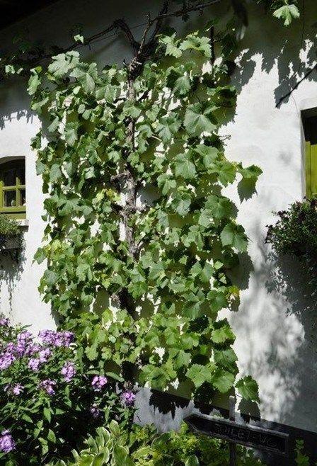 Inspiring Grape Vine Ideas To Beautify Your Garden 31 Grape