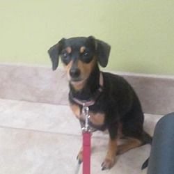 Available Pets At Dachshund Adoption Rescue Education Dare In