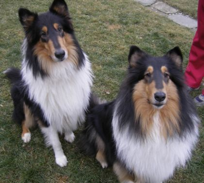 Rough Collies 13 Weeks Old The Rough Variety Boasts One Of The Canine Kingdoms Most Impressively Showy Coats In 2020 Rough Collie Rough Collie Puppy Collie Puppies
