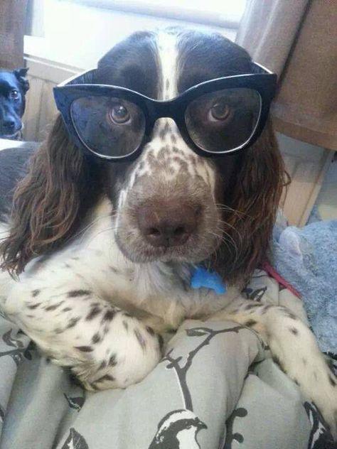 That Smart Looking Springer Springer Dog Peace Love Dogs Spaniel Breeds