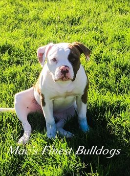 American Bulldog Puppy For Sale In Vernal Ut Adn 53329 On