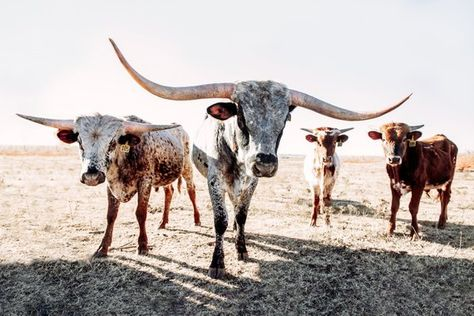 Longhorn cow canvas or photo print. Western decor or old west wall art. Large print also available in rustic barnwood frames. Longhorn Cow, Longhorn Cattle, Cow Wall Art, Cow Art, Western Photography, Animal Photography, Rodeo, Country Backgrounds, Cow Canvas