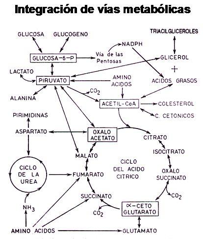 La Carnitina: Definición y Descripción Completa - Fisiología del Ejercicio | G-SE