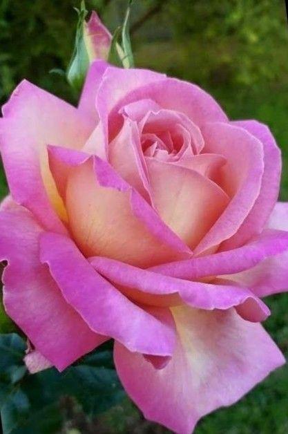 """Képtalálat a következőre: """"rozsák virágok kép"""""""