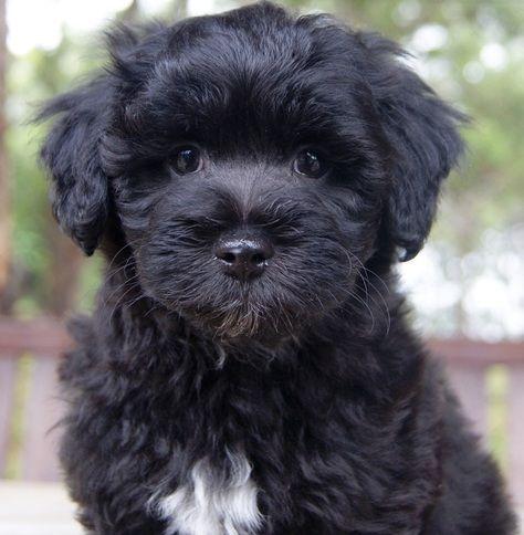 Pin On Shih Tzu Dogs