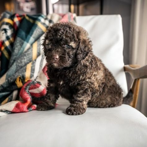 Phoebe Female Mini Portidoodle Pup For Sale Near Sugarcreek Ohio Copy In 2020 Puppies For Sale Puppies Sheepadoodle Puppy