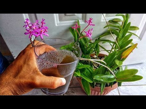 196 Esto Hará Que Tu Orquidea Florezca Como Nunca Fertilizante Líquido Casero Par Fertilizante Para Orquideas Plantas De Orquideas Cultivo De Orquídeas
