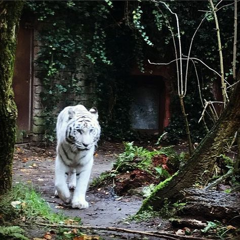 elkedageenfoto W -> Witte tijger #something...