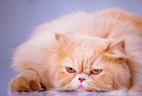 The Persian Cat The Glamour Cat Of Cats Aka Grumpy Cat Cat Furry Persian Cat Cat Portraits