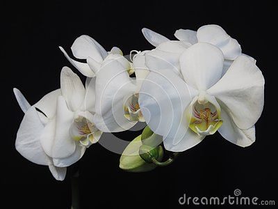 A White Orchid Bloom Blossom Bunch On Black Background Exquisite Blooming Stylish Orchid Bouquet Orchid Flowers And Buds With Images Bloom Blossom Orchid Bouquet Orchids