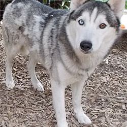 Pin By Rubilee Dykes On Adoptable Pets Siberian Husky Mix Husky