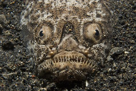 Stargazer fish...a bit creepy