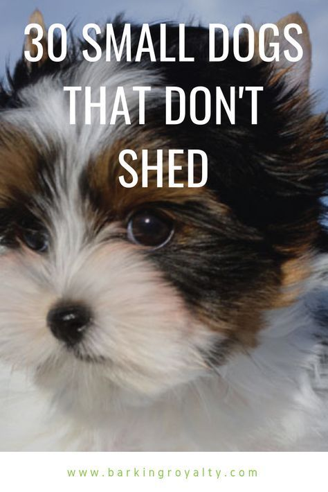 30 Small Hypoallergenic Dogs That Don T Shed In 2020 Best Small