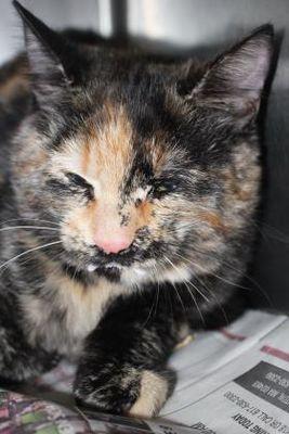 Cleveland Al British Shorthair Meet 40523702 A Pet For Adoption